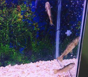 16-trout